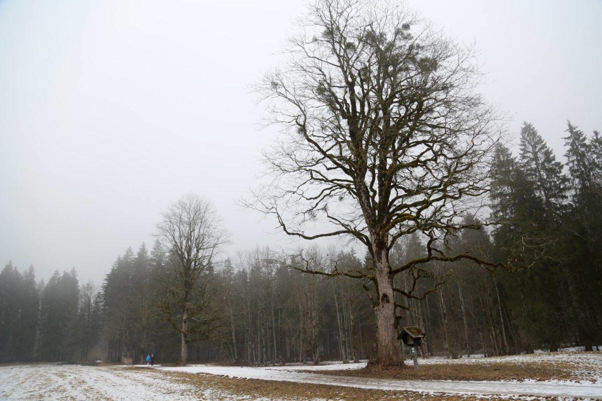 Naturdenkmal: Drei Bergahorne in Weißenbach bei Liezen
