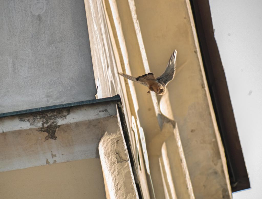 turmfalken-rottenmann-falken-rathaus-(c)-klaus-herzmaier-4